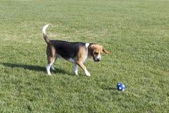 Beagle psy fotografia royalty free