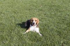 Beagle psy zdjęcie stock