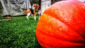 Beagle and pumpkin royalty free stock images