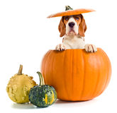 Beagle in pumpkin Royalty Free Stock Image
