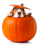 Beagle in pumpkin Stock Image