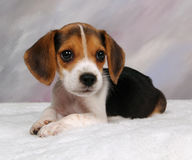 Beagle Pup Stock Image