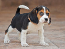Beagle pup Royalty Free Stock Photos