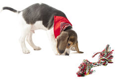 Beagle pup Royalty Free Stock Images