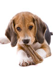 Beagle pup. Adorable and cute beagle pup chewing on a bone Stock Photo