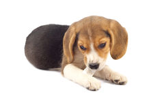 Beagle pup chewing Stock Images