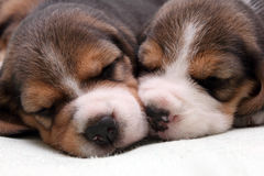 Beagle puppies royalty free stock image