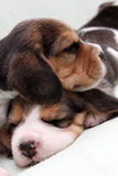 Beagle puppies Stock Photography