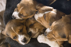 Beagle puppies stock photo