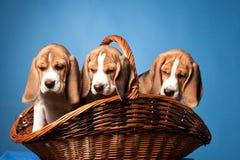 Beagle puppies Stock Photos