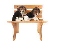 Beagle puppies on a bench Royalty Free Stock Images