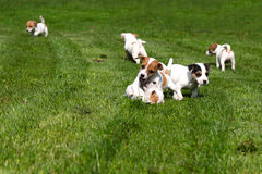 Beagle puppies on grass Stock Images