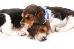 Beagle puppies sleeping. Two beagle puppies sleep on a white background Royalty Free Stock Image