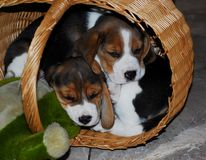Beagle puppies Stock Images