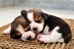 Beagle puppies sleeping. Two beagle puppies sleeping together Royalty Free Stock Photography