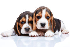 Beagle puppies on white background Royalty Free Stock Images