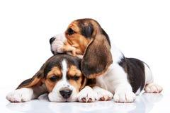 Beagle puppies on white background Stock Photos