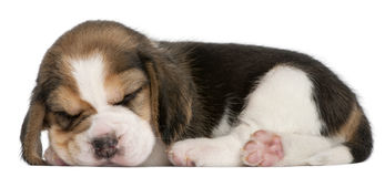 Beagle Puppy, 1 month old, lying Royalty Free Stock Images