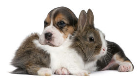 Beagle Puppy, 1 month old, and a rabbit Royalty Free Stock Images