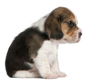 Beagle Puppy, 1 month old, sitting Stock Photography