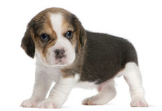 Beagle Puppy, 1 month old, standing in front of Royalty Free Stock Images