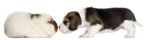 Beagle Puppy, 1 month old, and Teddy guinea pig Royalty Free Stock Photo