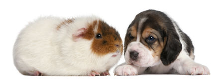 Beagle Puppy, 1 month old, and Teddy guinea pig Royalty Free Stock Photos