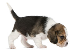 Beagle Puppy, 1 month old, walking in front of Royalty Free Stock Image