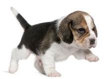 Beagle Puppy, 1 month old, walking in front of Royalty Free Stock Images