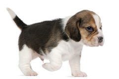 Beagle Puppy, 1 month old, walking in front of Royalty Free Stock Photos