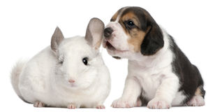 Beagle Puppy, 1 month old, and a Wilson chinchilla Stock Images