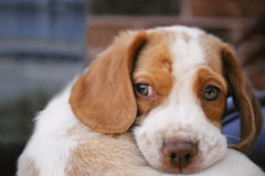Beagle puppy. Curled up Beagle puppy stock photography