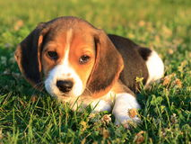 Beagle Puppy. A female beagle puppy laying down in grass Stock Image
