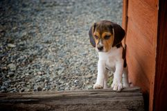 Beagle puppy. Vignette effect and low ISO Royalty Free Stock Images
