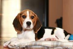 Beagle puppy royalty free stock photo