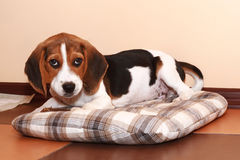Beagle puppy (2 months) Stock Photography