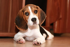 Beagle puppy (2 months) Royalty Free Stock Image
