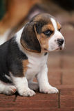 Beagle Puppy Stock Photography