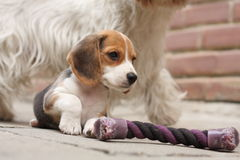 Beagle puppy Royalty Free Stock Photos