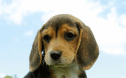 Beagle Puppy 3 Stock Photo
