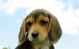 Beagle puppy 3 Stock Photo