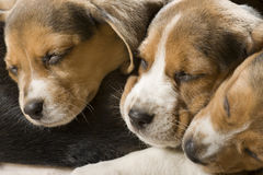 Beagle puppy - 3 ones stock images