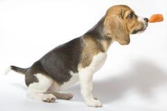 Beagle puppy Stock Photos