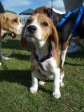 Beagle Puppy. Arizona Beaglefest 2005 baby beagle pup Stock Photo