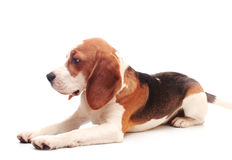 Beagle puppy Royalty Free Stock Image