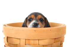 Beagle puppy in a basket Stock Photo
