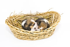 Beagle puppy in basket Royalty Free Stock Image