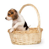 Beagle puppy in a basket Stock Photos
