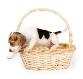 Beagle puppy in a basket Royalty Free Stock Image