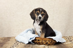 Beagle Puppy In A Basket Royalty Free Stock Images